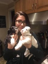 Portuguese Water Dogs For Adoption