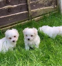 Maltese puppies for adoption Text (437) 536-6127