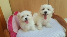 Trained and friendly Maltese Puppies Ready to go now