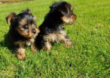 YORKIE PUPPIES FOR ADOPTION Text (437) 536-6127