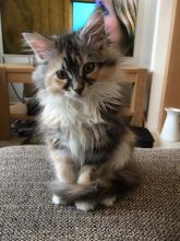 Cute Maine Coon kittens for adoption