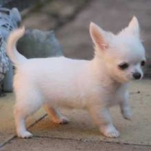 Gorgeous Chihuahua puppies,