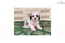 Lhasa Apso Puppies.
