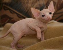 Lovely hairless Sphynx Kittens available