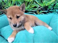 Male and female Shiba Inu puppies for pet lovers.