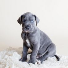 Two Great Dane puppies for adoption