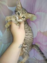 We have available Savannah Kittens
