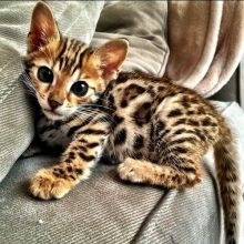 We offer quality Bengal kittens