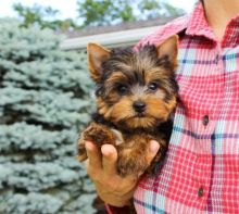Absolutely Healthy, Cute and Super Lovely Yorkie Puppies