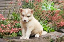 ❤️❤️ Alaskan Malamute Puppies ❤️❤️ Girl & Boy ❤️ ❤️