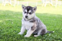***ALASKAN MALAMUTE PUPPIES-READY FOR NEW HOMES***