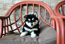 Fantastic Pomsky Puppies Ready For Their Forever Homes IUDUDID