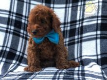 ***TOY POODLE PUPPIES-READY FOR NEW HOMES***