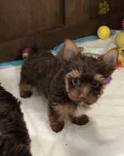 ***YORKIE PUPPIES-READY FOR NEW HOMES***