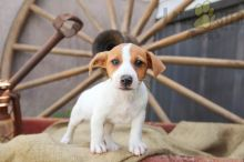 12 weeks old Jack Russell Terrier Pups *Trained*