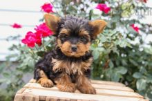 12 weeks old Yorkie Pups *Trained*