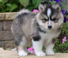Absolutely Healthy, Cute and Super Lovely Pomsky Puppies
