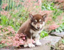 Alaskan Malamute pups!!! Meet them Now !