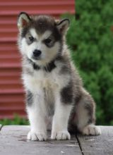 Beautiful Alaskan Malamute puppies for adoption~non shedding