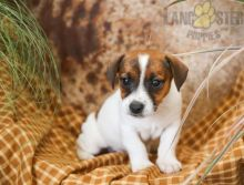 Beautiful Jack Russell Terrier puppies ready to be rehomed