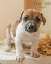 Beautiful Jack Russell Terrier puppies ready to go!!!!