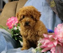 Beautiful Toy Poodle puppies for adoption~non shedding