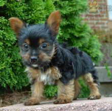 Beautiful Yorkie puppies ready to be rehomed
