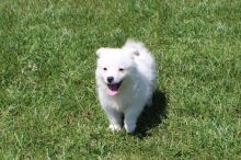 CKC Reg'd American Eskimo Puppies- 2 LEFT