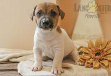 CKC Reg'd Jack Russell Terrier Puppies- 2 LEFT