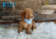CKC Reg'd Toy Poodle Puppies- 2 LEFT