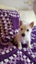CKC Reg'd Westie Puppies- 2 LEFT