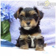 CKC Reg'd Yorkie Puppies- 2 LEFT