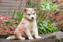 Exceptional Working Line Alaskan Malamute Puppies Available