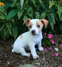 Exceptional Working Line Jack Russell Terrier Puppies Available