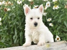 Exceptional Working Line Westie Puppies Available