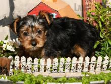 Exceptional Working Line Yorkie Puppies Available
