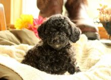 FANTASTIC TOY POODLE PUPPIES AVAILABLE #GREAT CUTIES#