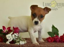 Adorable Jack Russell Terrier Puppies-Male/Female left!!