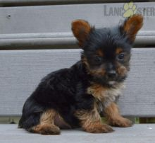 Adorable Yorkie Puppies-Male/Female left!!