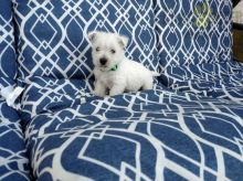 Adorable Westie Puppies-Male/Female left!!