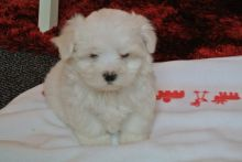FHDHDF Adorable Outstanding Maltese Puppies