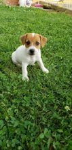 Jack Russell Terrier Puppies ready to go home! Health Guarantee Incl.