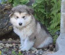 Only 2 available! Alaskan Malamute pups! **Vaccinated**