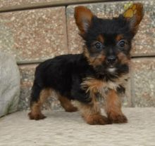 Only 2 available! Yorkie pups! **Vaccinated**
