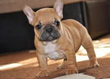 Super adorable French bulldog Puppies. So gentle and affectionate.