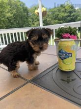 Yorkie Puppies ready to go home! Health Guarantee Incl.