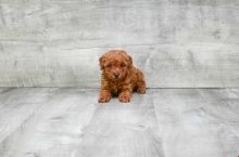 FANTASTIC TOY POODLE PUPPIES AVAILABLE Image eClassifieds4U