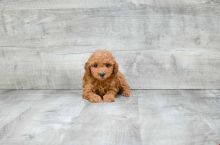 GORGEOUS TOY POODLE PUPPIES FOR GREAT HOMES Image eClassifieds4U