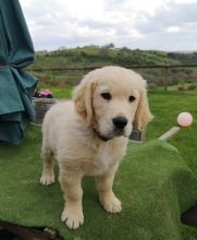 Golden Retriever puppies- Male & Female.contact if interested (782) 821-0924