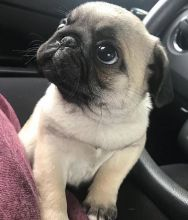Healthy cute PUG puppies available for adoption Text or call (970)614-5829